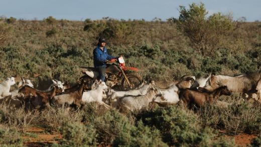 Afectada por una sequía prolongada y los bajos precios de la carne y la lana de oveja, la venta de cabras ha ayudado a financiar entregas vitales ...