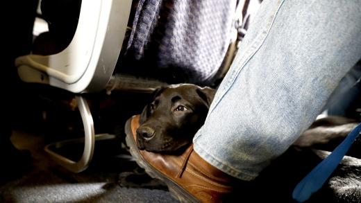 Las aerolíneas estadounidenses prohíben los animales de apoyo emocional en los aviones.