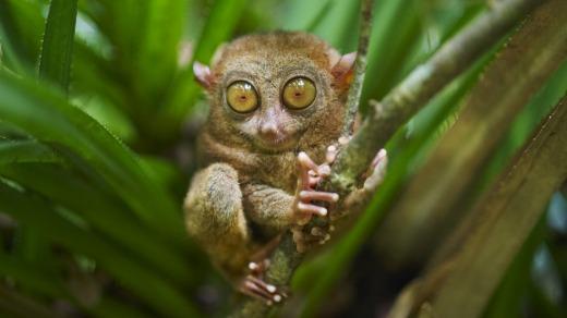 Un tarsero en Bohol, Filipinas.  Coby Edgar sueña con regresar aquí a las selvas tropicales.