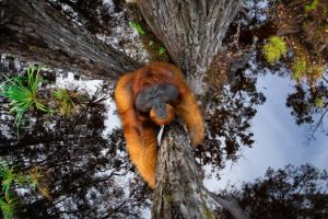Concurso Nature TTL Fotógrafo del año: gana la asombrosa imagen del orangután